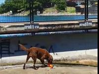 Sprytny pies wymyślił sposób jak samemu bawić się w aportowanie