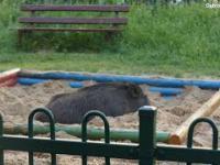 Dzik śpiący w piaskownicy w Dąbrowie Górniczej