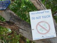 Najgroźniejsze drzewo świata - Drzewo śmierci