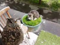 Sowa pilnuje kota który w tym czasie je trawę