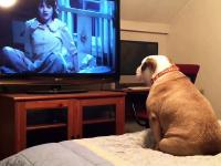 Wrażliwy buldog ogląda horror