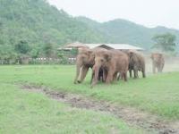 Reakcja stada słoni na nowego towarzysza