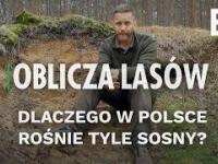 Dlaczego w Polsce rośnie tyle sosny?