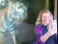 Spotkanie tygrysa z kobietą w ciąży