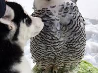 Buzi, buzi, czyli husky całuje sowę