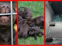 Zwyrodnialec pozostawił 8 szczeniaków zamkniętych w bagażniku przy 30 stopniach Celsjusza. Grozi mu do 2 lat pozbawienia wolności. | PrawicowyInternet.pl