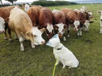 Ciekawskie mućki zainteresowane nietypowym ubiorem psa