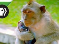 Małpy nauczyły się kraść i handlować rzeczami kradzionymi
