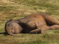 Słonica nie może dobudzić swojego dziecka