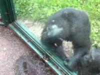 Bystry szympans i skąpa baba
