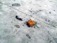 Oddział mrówek dzielnie kradnie nugetsa