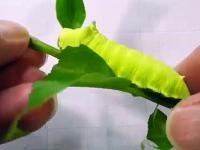 Caterpillar Scream - jak
