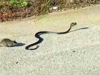 Szczurza matka ratuje młode porwane przez węża