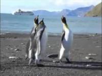 Jo jest cysty Hanys, czyli kłótnia pingwinów