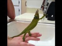 Kameleon kompletnie zafascynowany strumieniem wody