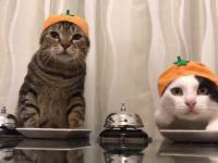 Dwa koty proszą o żarcie