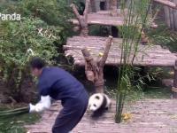 Mała panda nie chce zostać sama