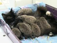 Kocia mama zaopiekowała się osieroconymi jeżami