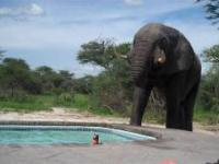 Siedzisz sobie w basenie a tu sloń