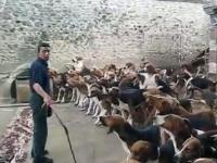 Karmienie 120 myśliwskich psów gończych