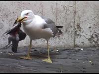 Mewa połyka gołębia