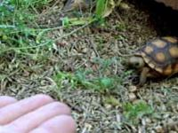 Mały żółwik wychodzi człowiekowi na spotkanie