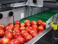 Linia do sortowania jabłek