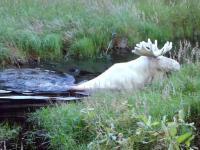 Łoś albinos biorący kąpiel