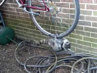 Szopy pracze zrobiły sobie zabawkę z koła rowerowego