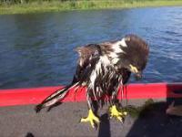 Uratowali i nakarmili małego orła