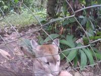 Puma zlizuje skórę z ręki człowieka