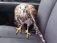 Jastrząb schował się w taksówce przed Huraganem Harvey