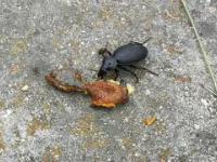 Karaluch zjada ślimaka - nic w przyrodzie się nie marnuje.