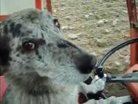 O psie który jeździł ciągnikiem | Dog driver a tractor