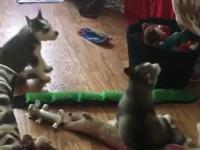 Szkółka wycia szczeniaków Husky