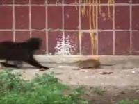 szczury vs koty