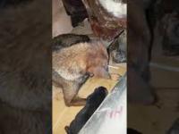 Psia mama desperacko odkopuje swojego szczeniaka, który wpadł w pułapkę