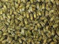 Jak pszczoły przekazują sobie info o lokalizacji pożytku