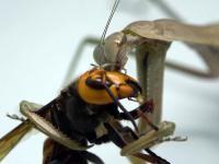 Pojedynek tytanów z królestwa owadów: Szerszeń azjatycki vs Modliszka chińska