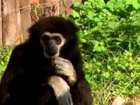 Gibbony