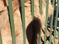 Właśnie dlatego nie pcha się rąk do klatki z lwem