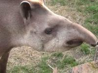 Uśmiech tapira
