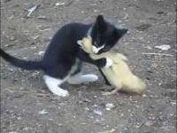 Kaczka zaczepia kotecka
