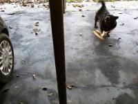 Pies domaga się przejażdżki samochodem