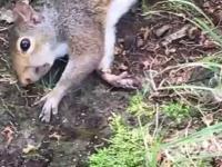 Wiewiórka przedawkowała grzybki halucynogenne