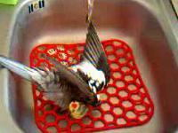 Papuga z Afryki polubiła prysznic !!!