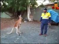 Nawet kangury nie chcą ciapatych u siebie
