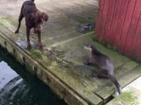 Wydry bawią się z psami
