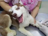 Pierwsza wizyta psa husky u weterynarza