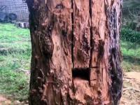 Ciekawa techniką pozwalająca położyć drzewo tam gdzie chcemy
